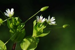Skov-fuglegrs (Stellaria neglecta)